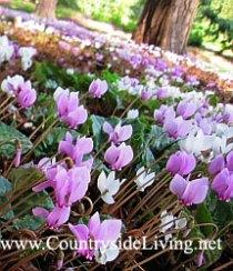 Цикламены плющелистные осенние (осеннецветущие) в ботаническом саду Уизли