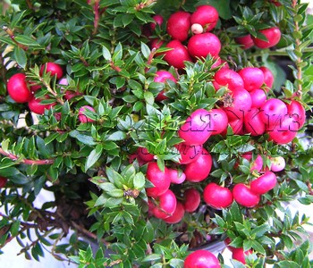 Гаультерия (пернеттия) остроконечная мукроната с розовыми ягодами