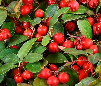 Гаультерия (пернеттия) -- рождественские ягоды. Гаультерия лежачая прокумбенс, винтергрин