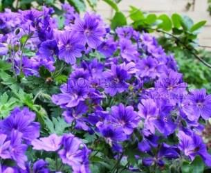 Герань садовая многолетняя великолепная (Geranium × magnificum)