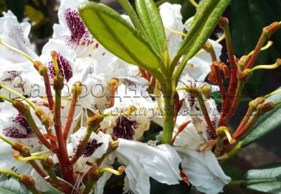 Рододендроны весной. Уход за садовыми рододендронами