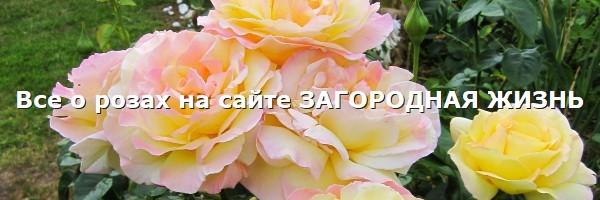 Розы: фото, описание, сорта, отзывы. Садовые розы на сайте ЗАГОРОДНАЯ ЖИЗНЬ