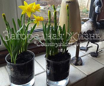 Нарциссы в горшке в домашних условиях. Весенние композиции