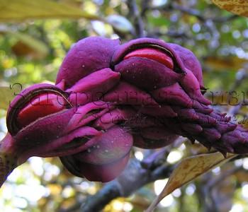 Магнолия суланжа (Magnolia soulangeana). Плоды, октябрь