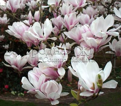 Магнолоия суланжа в полном цвету в нашем саду. Апрель