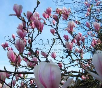 Магнолия суланжа (Magnolia soulangeana), цветение в нашем саду, март