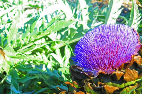 artichoke-in-flower-sept-2016