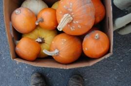 pumpkins 1