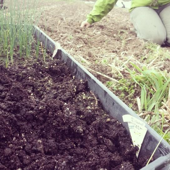 4.28.14 onion planting 2