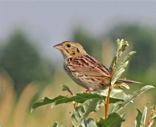 Henslow's Sparrow by Benjamin Murphy