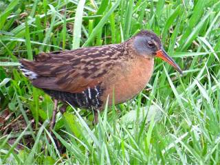 Virginia Rail by Benjamin Murphy