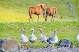 Icelandic horses and goose saying good morning   Gay Couple Road Trip East Iceland © Coupleofmen.com