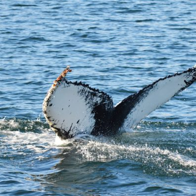 Three Photos of a Humpback Whale Part 3 | Humpback Whale Watching in Dalvík, North Iceland © CoupleofMen.com