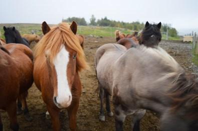 gay-travel-roadtrip-north-iceland-hestasport-icelandic-horse-riding-05