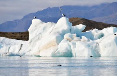 Sea lions and seagals   Zodiac Tour Glacier Lagoon Jökulsárlón © CoupleofMen.com