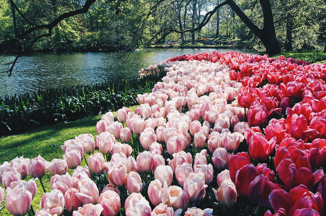 Wow - stunning tulip fields   Keukenhof Tulip Blossom Holland