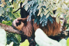 Gay Travel Journal Costa Rica One of the famous Costa Rica animals: Our favorite shot of a Sloth | Gay-friendly Costa Rica © Coupleofmen.com