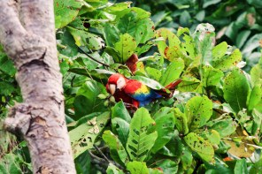 Lunch view: Red Macaw in the Rainforest at the Pacific Coast | Gay-friendly Costa Rica © Coupleofmen.com