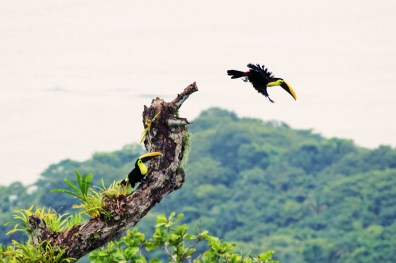 Our favorite birds: Toucans, here the genius Ramphastos with their enormous, colourful, bills | Gay-friendly Costa Rica © Coupleofmen.com