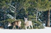 Wapitis at Jasper National Park   Winter Road Trip Alberta Highlights Canadian Rocky Mountains © Coupleofmen.com
