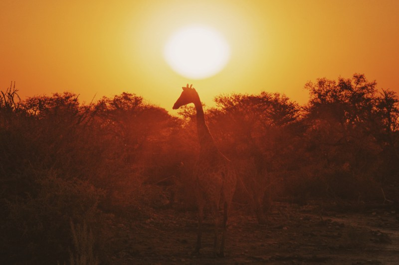 The money shot: Giraffe walking into the sunset at Etosha in Namibia © Coupleofmen.com