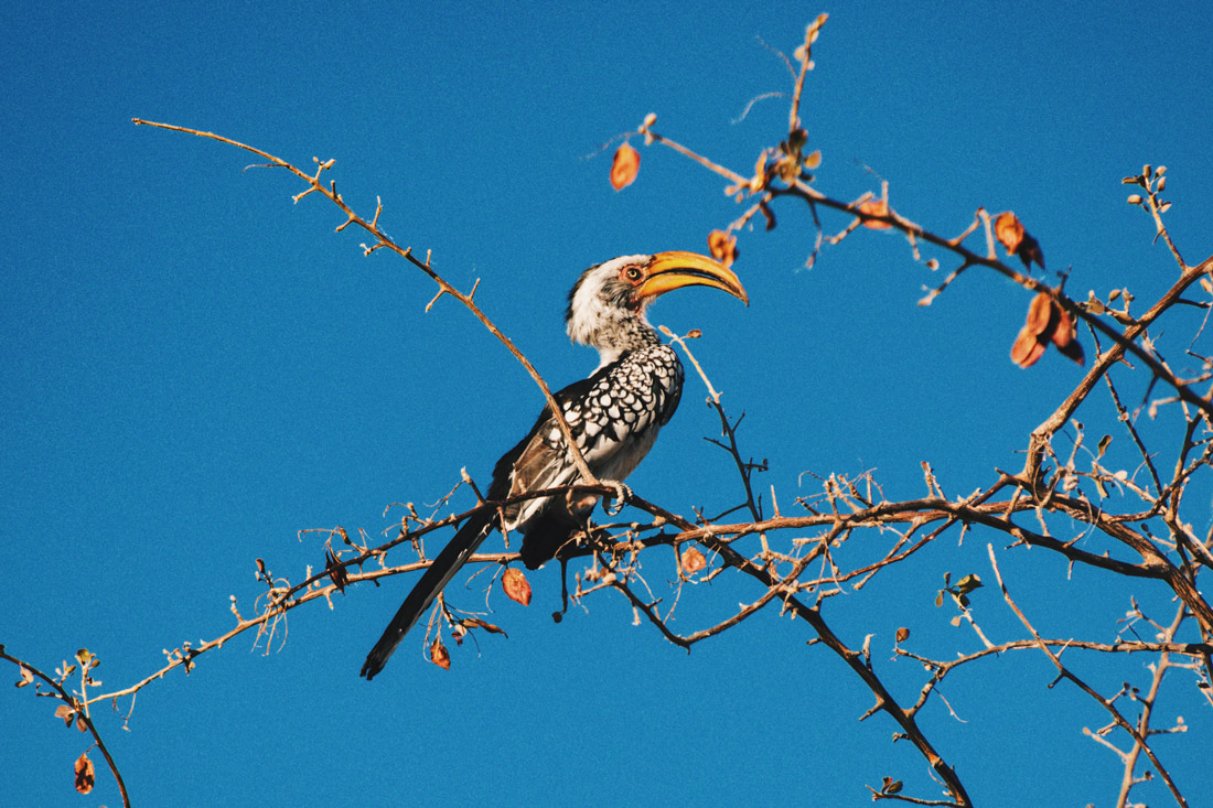 Very hard to capture on a photo, but Daan got it: The Southern yellow-billed Hornbill sitting in a tree at Etosha in Namibia © Coupleofmen.com