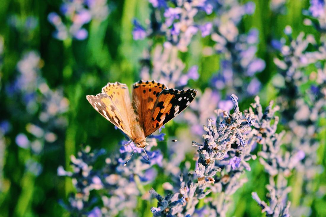 Hundreds of Butterflies on the Lavendar field of Österlenkryddor © Coupleofmen.com