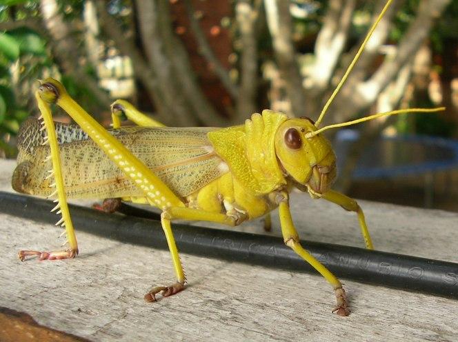 An alien insect!, Brazil
