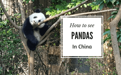 How to see Pandas in China (Hint: it involves traveling to Chengdu)