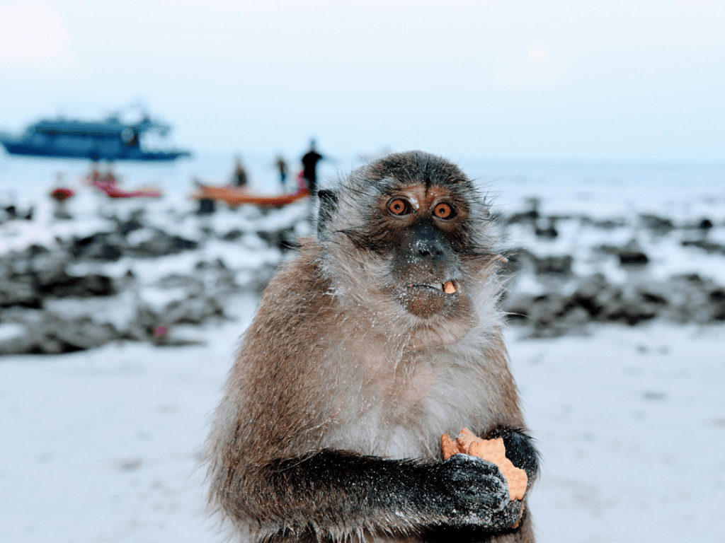 An-image-showing-the monkeys-on-Monkey-Island-near-koh-Phi-Phi
