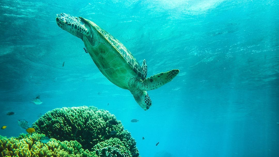 How to Swim with Turtles at Apo Island, Philippines