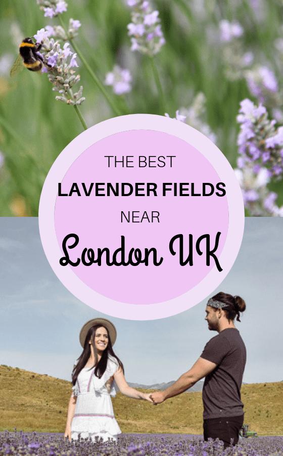 Lavender-fields-near-London-UK
