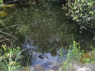 Alligators - Loop Road - Everglades - Floride