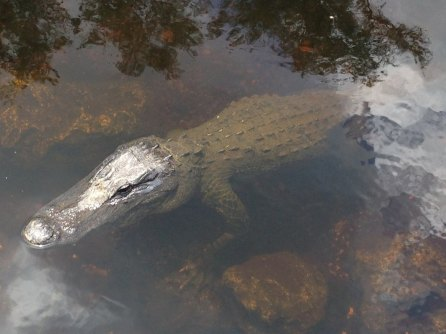 Alligators - Loop Road - Everglades - Floride
