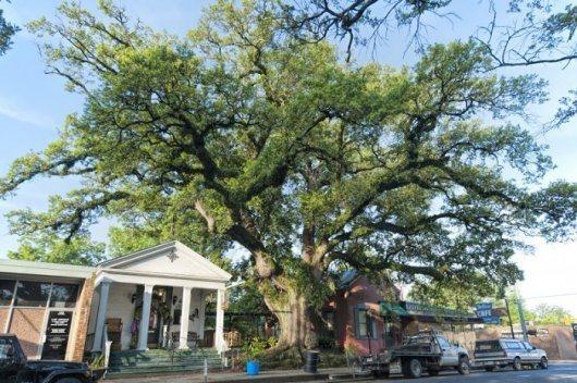 """Le """"Jim Bowie Oak Tree"""" à Opelousas"""