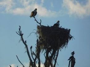 Oiseaux à Flamingo -Everglades national Park)
