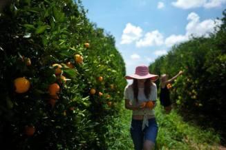 Cueillette d'oranges en Floride
