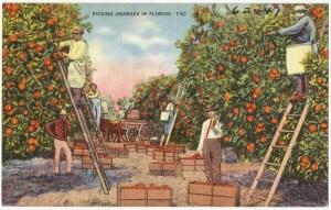 Cueillette des oranges en Floride