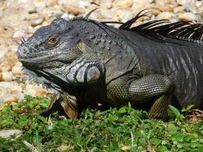 Iguane dans les Jardins Japonais Morikami à Delray Beach