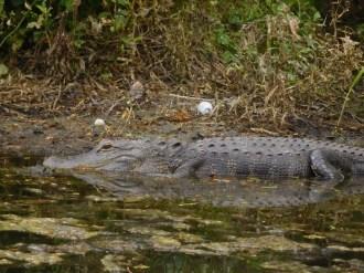 Alligator à Riverbend Park / Jupiter / Floride