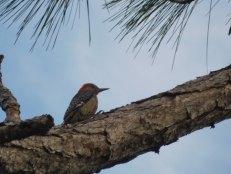 Red-bellied woodpecker au Refuge des Panthères, à Immokalee - Floride
