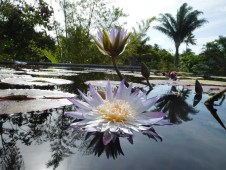 Nénuphars aux Jardins Botaniques de Naples / Floride