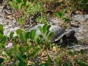 Tortue de Gopher à Port Salerno / Floride