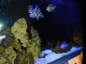 Poissons-lions en aquarium au Loggerhead Marine Life Center à Juno Beach / Floride