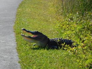 Alligator à Shark Valley / Parc National des Everglades