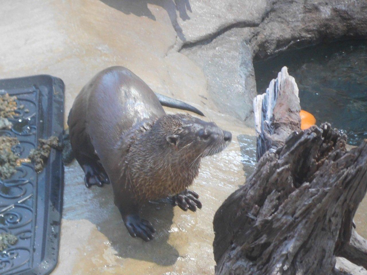 Otaries à Mote Marine Laboratory & Aquarium, sur Lido Key à Sarasota