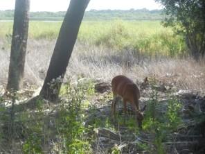 Biche au Myakka River State Park / Sarasota / Floride