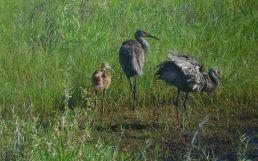 Grues de Floride en famille au Myakka River State Park de Sarasota