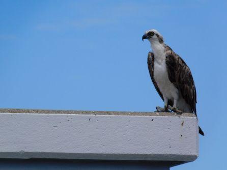 Balbuzard sur Honeymoon Island, Floride