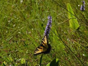 Papillon au Corkscrew Swamp Sanctuary (Audubon Center dans les Everglades à Naples / Floride)